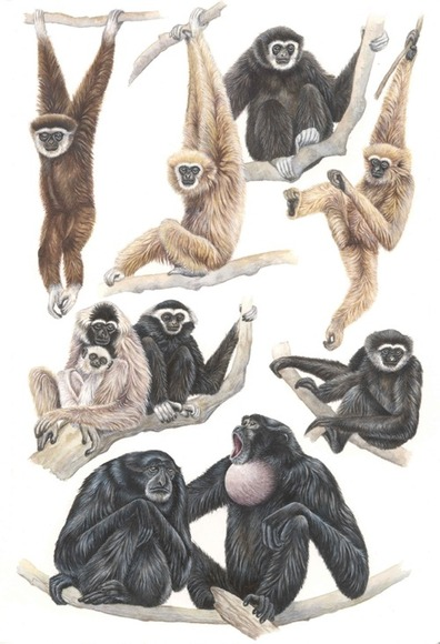Gibbon Plate for 'A Field Guide to the Mammals of South-east Asia'